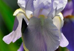Iris en transparence