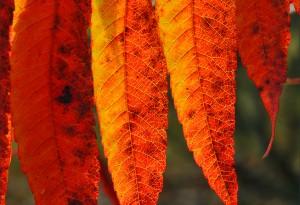 Folioles de Rhus Typhina ou  Sumac.